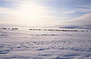 Samis (lap people). Raindeers breeders in Lavou Rofto  Lapland  Norway        Les Samis (lapons); éleveurs de Rennes sur le plateau de Lavou Rafto.  Laponie,   Norvege       L004777  /  R00330  /  P111334