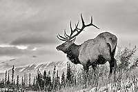 Large bull elk in the snow B&W