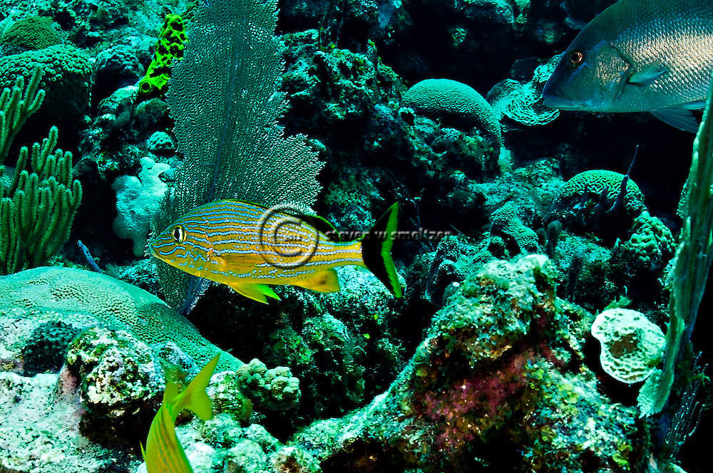 Bluestriped Grunt, Haemulon sciurus, (Shaw, 1803), Grand Cayman