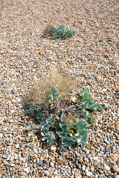 Sea kale vegetated shingle on the pebbly beach at Dungeness in Kent, UK