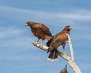 Socialization in Harris's hawks is generally family groups, here a juvenile (left) with an adult. © 2012 David A. Ponton