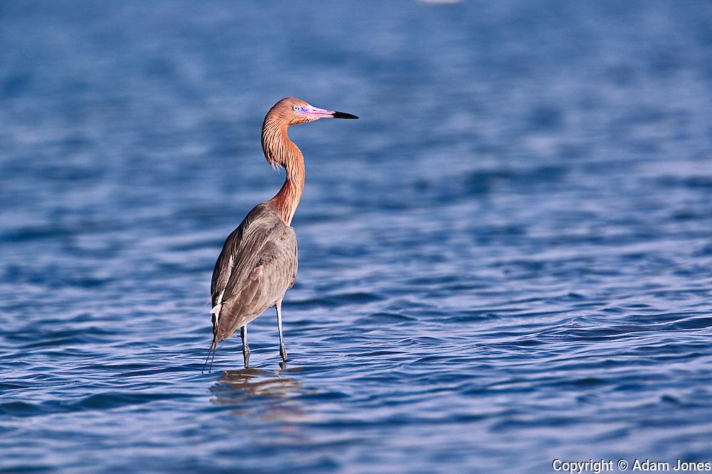 Reddish Egret, Egretta rufescens, Ding Darling National Wildlife Refuge, Sanibel Island, Florida