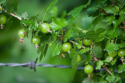 Wild gooseberry growing by a barbed wire fence. Ribes uva-crispa
