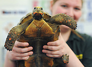 Breanne Musselman (C) shows a red tailed tortoise during an event in which Delaware Valley College students will host a family friendly Animals in the Public Eye Monday March 23, 2015 at the Doylestown Free Library in Doylestown, Pennsylvania. (Photo by William Thomas Cain/Cain Images)