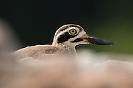 A great stone-curlew stands alone on a rock in a shallow lake, Ranganathittu Bird Sanctuary, India