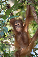 A Bornean orangutan baby (Pongo pygmaeus) hanging in the tree canopy in Tanjung Puting National Park, Borneo, Indonesia.