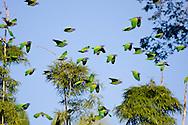 Blue-headed parrots, Peruvian Amazon rainforest