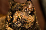 Calico cat, tortoise shell<br /> PROPERTY RELEASED