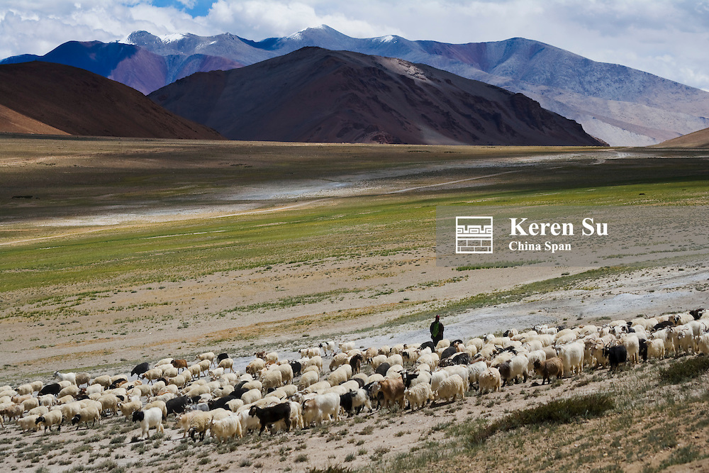 Herding sheep in the Himalayas, Taglangla Pass, Ladakh, India