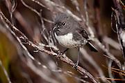 Stewart Island Robin, New Zealand