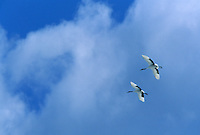Two Red-crowned Cranes (Grus Japonensis) in flight.