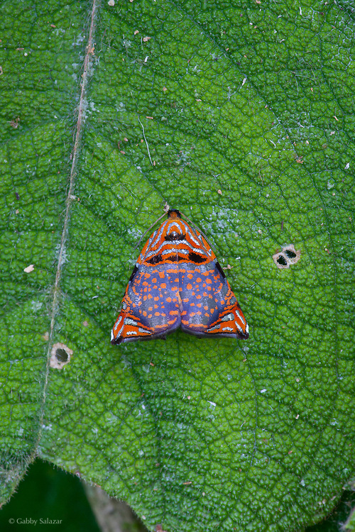 Moth (Order: Lepidoptera). Villa Carmen Biological Reserve near Pilcopata, Peru. The reserve is around 600 meters in elevation and includes pre-montane rainforest and lowland rainforest. It is owned by the Amazon Conservation Association and its Peruvian sister organization, La Asociación para la Conservación de la Cuenca Amazónica.