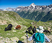 Hikers bypass black cattle near the trail. In the alpine meadows of Lötschental above Lauchernalp gondola lift station, see the Bietschhorn (3934 m/12,907 ft) in canton Valais/Wallis, Switzerland, the Alps, Europe. The northeast and southern slopes of the Bietschhorn are in Jungfrau-Aletsch Protected Area, a UNESCO World Heritage Site. Kandersteg is a great base for hiking: an epic hike from Selden in Bern canton traverses Lötsch glacier and Lötschenpass (Lötschepass) to neighboring Lötschental in Valais canton; hiking poles are recommended for snow and rocks. The walk starts with a reserved Postbus ride from Kandersteg to Selden (in Gasterntal / Gasteretal / Gasterental), climbs 1350 meters, descends 925 m, and ends 13 km later at Lauchernalp lift station, which descends to Wiler in Lötschental, to reach Goppenstein via Postbus, back to Kandersteg via train. You can also reverse the route or stay overnight in dorms at Lötschepass hut. This image was stitched from multiple overlapping photos.