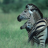Africa, South Africa, Kruger National Park, Plains Zebra (Equus burchelli) standing with young calf near water hole