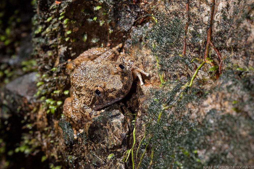 Rough Guardian Frog (Limnonectes finchi) on a rock in Ulu Temburong National Park, Brunei (Borneo)