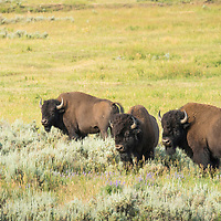 The American bison, often mistakenly called a buffalo, roam in large herds in the Lamar Valley of Yellowstone National Park.
