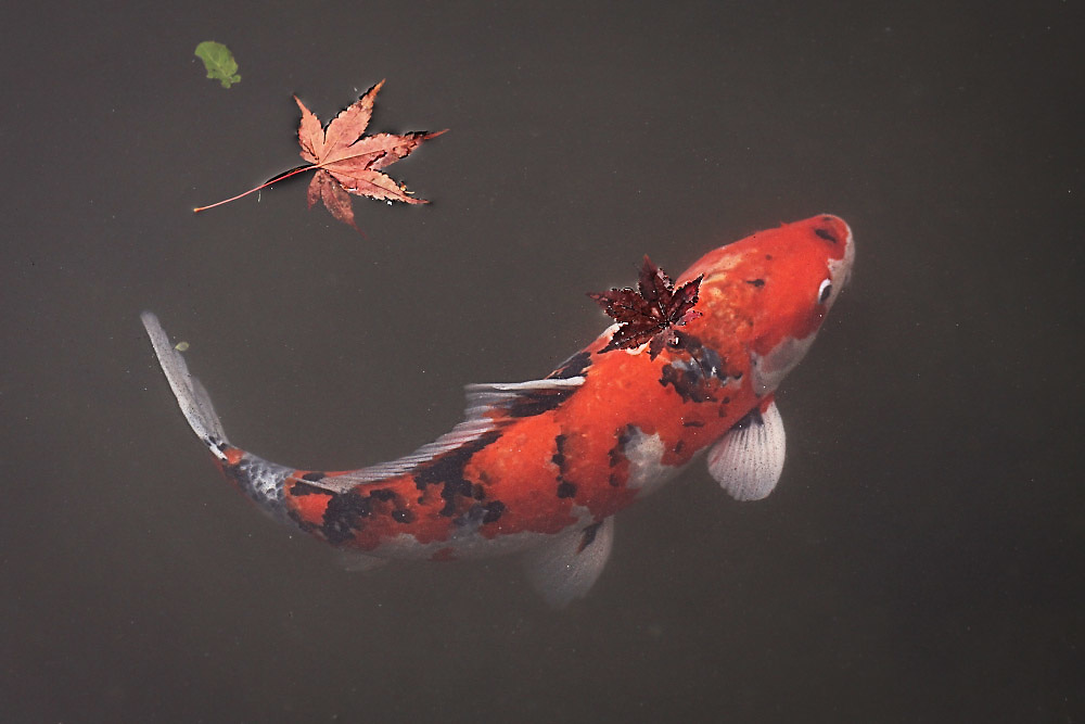 Koi and maple leaves - Kyoto, Japan