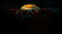 Sally Lightfoot Crab feeding on tidal rocks in the last rays of light. Photographed on Isabela Island, Galapagos.
