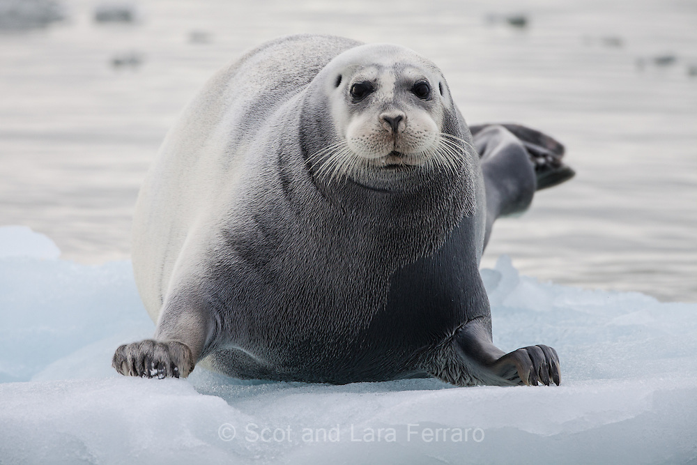 A bearded seal floats on ice just off the Austfonna glacier in Nordaustlandet Svalbard.
