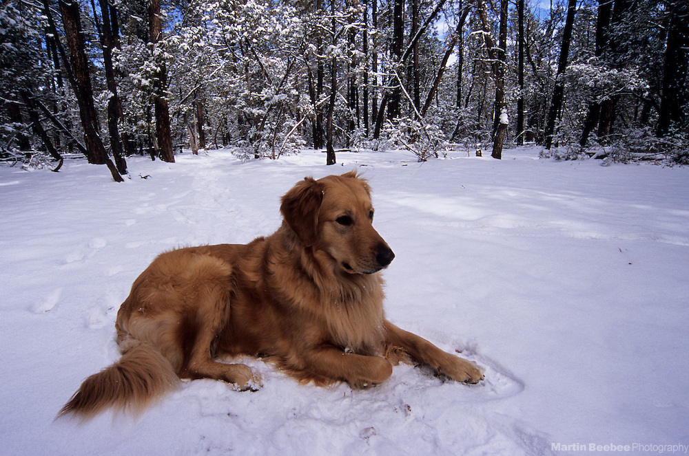 Golden retriever lying in the snow, winter, Sitgreaves National Forest, Arizona