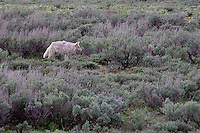 Coyotes can run at speeds of up to 40 miles per hour.  The coyote is also a prominent character in Native American folklore, usually depicted as a trickster who alternately assumes the form of an actual coyote or a man. As with other trickster figures, the coyote acts as a picaresque hero which rebels against social convention through deception and humor.