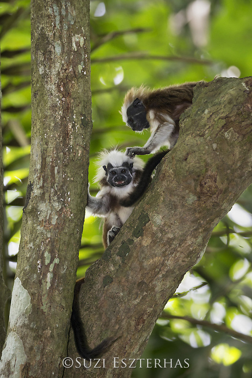 Cotton-topped Tamarin<br /> Saguinus oedipus<br /> Northern Colombia, South America