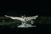A western long-eared myotis (Myotis evotis) scoops up water while flying. High-desert in Central Oregon, Dechutes National Forest. © Michael Durham