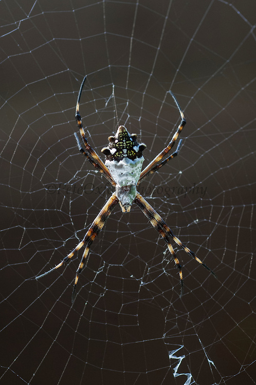 Silver Argiope Spider (Argiope argentata)<br /> Puerto Ayora, Santa Cruz Island, GALAPAGOS ISLANDS<br /> ECUADOR.  South America<br /> Occurs commonly in the Arid zone. It sits on its web and usually has an x-shaped design.