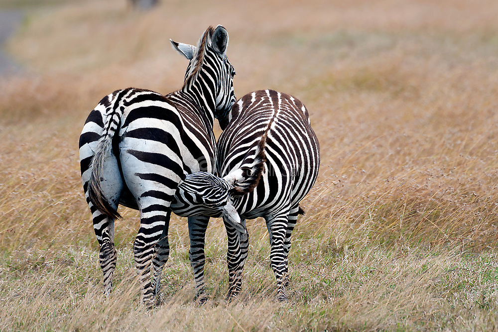 Subadult Common Zebra (Equus quagga) still drinking milk from his mother. Sweetwaters, Kenya.