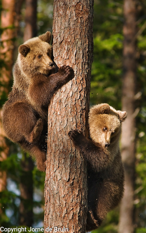 Two Eurasian Brown Bear Cubs have climbed into a tree to flee an adult male in a forest in Finland.