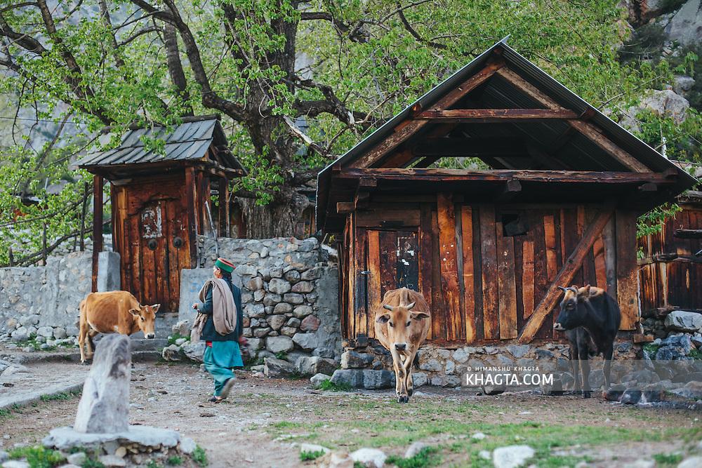 Kinnauri lady with her cattle at Chitkul, Kinnaur