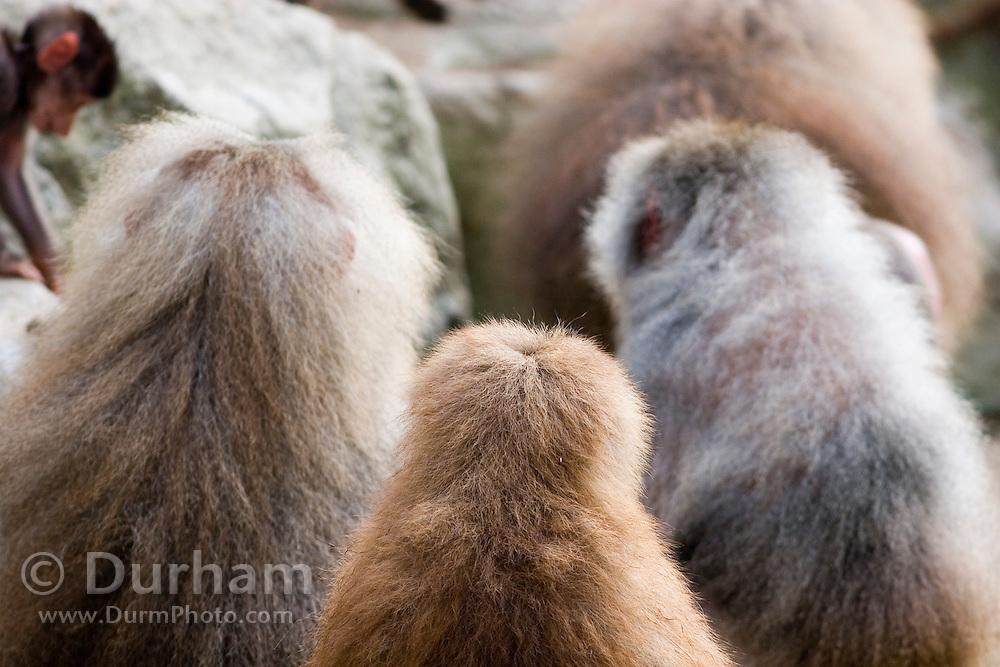 Female hamadryas baboons (Papio hamadryas) in a social group. Captive. Range: semi-arid plains and rocky hills in Ethiopia, Somalia, Saudi Arabia, and Yemen.