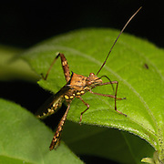 Coreidae (or Leaf-footed bug) is a large family of predominantly herbivorous insects that belong in the hemipteran suborder Heteroptera