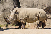 The white rhinoceros or square-lipped rhinoceros (Ceratotherium simum) is native to Africa. Indianapolis Zoo, Indianapolis, Indiana, USA.