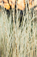 Closeup detail of grasses along the shores of Ancient lake in Potholes Coulee, Central Washington State, USA.