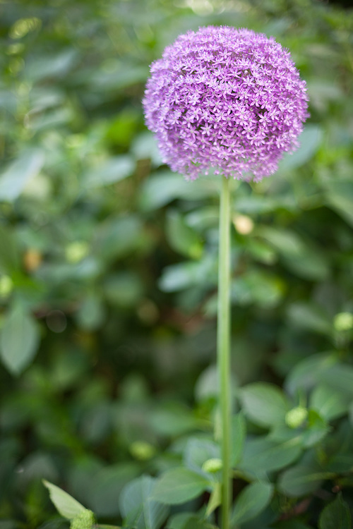 A single purple allium flower set amongsta natural background of green shrubs in Madison Square Park in New York City