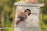 House Wrens are fantastic birds! They are absolutely fearless creatures once they have established a nest. This little fellow had occupied a bluebird house in a meadow near Mesick, Michigan, in 2012.