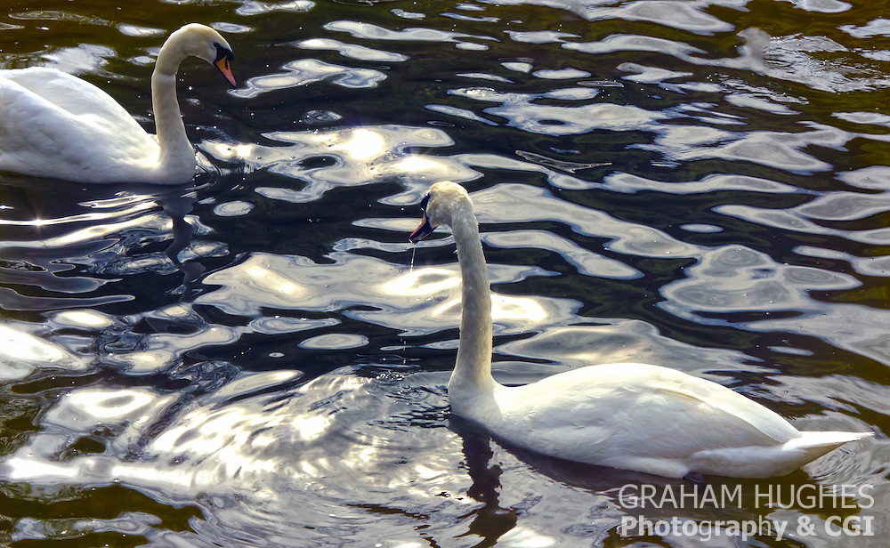 Two swans on water with reflections.