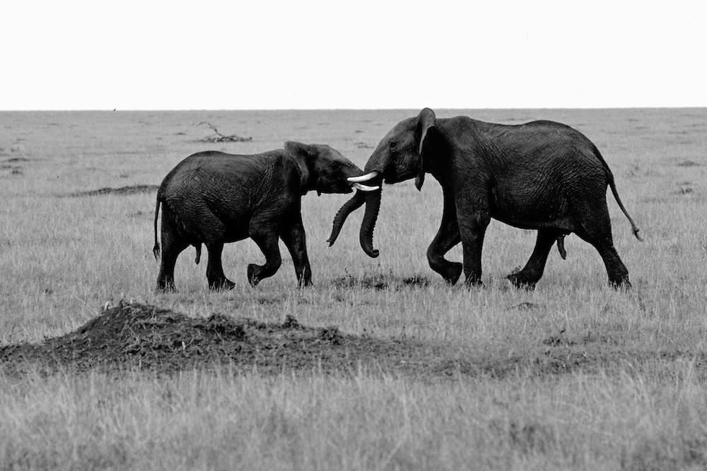 Elephants fighting,  Maasai Mara National Reserve, Kenya