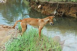Honey, a young dingo, contemplates a creek crossing at Mt Hart.