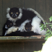 Black and White Ruffed Lemur mother and baby at Hamilton Zoo, Brymer Road, Waikato, New Zealand. 16th December 2010 Photo Tim Clayton.