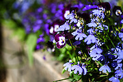 flowering garden. Blooming blue pansies flowers