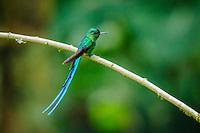 Long-Tailed Sylph Hummingbird [Aglaiocercus kingi, ssp.emmae] male; perched, Cabanas San Isidro, Ecuador