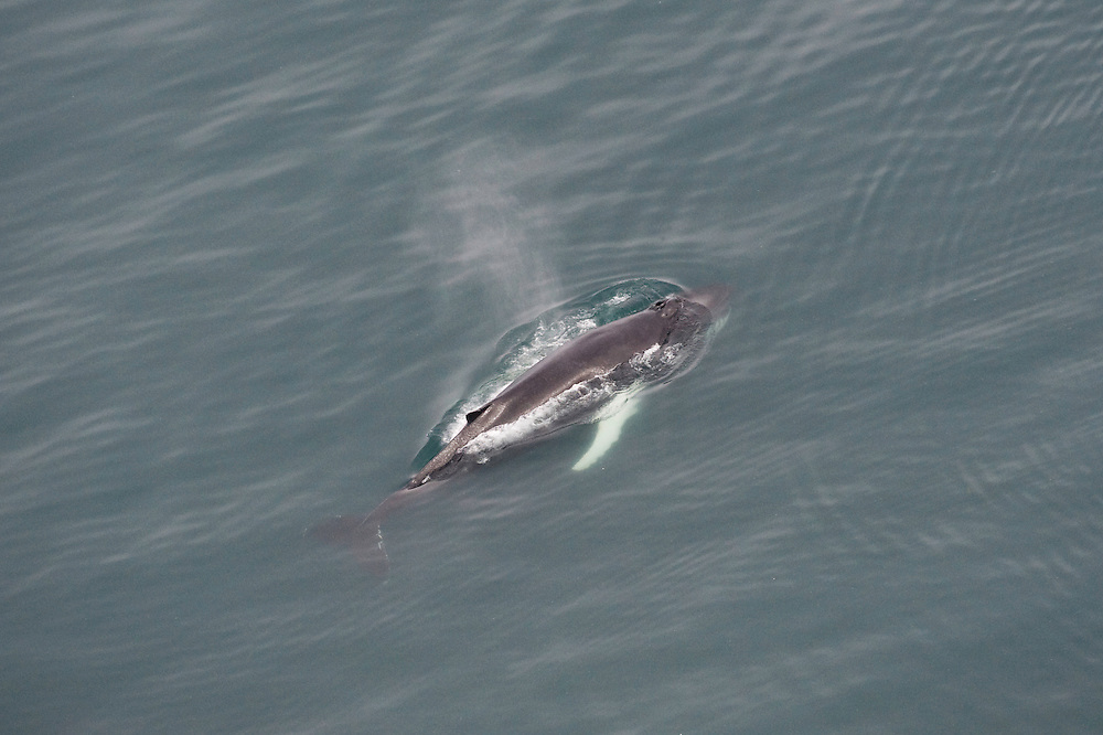 Humpback whale (Megaptera novaeangliae) blowing or spouting, Skjalfandi Bay, northern Iceland - aerial