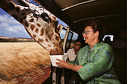 UTourists feed a giraffe at Molokai Ranch Wildlife Park, Hawaii. USA. The giraffe has walked up to the van full of tourists and is being fed by one of them.