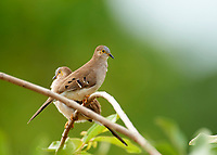 Long-tailed Ground-Dove (Uropelia campestris), Araras Ecolodge,  Mato Grosso, Brazil