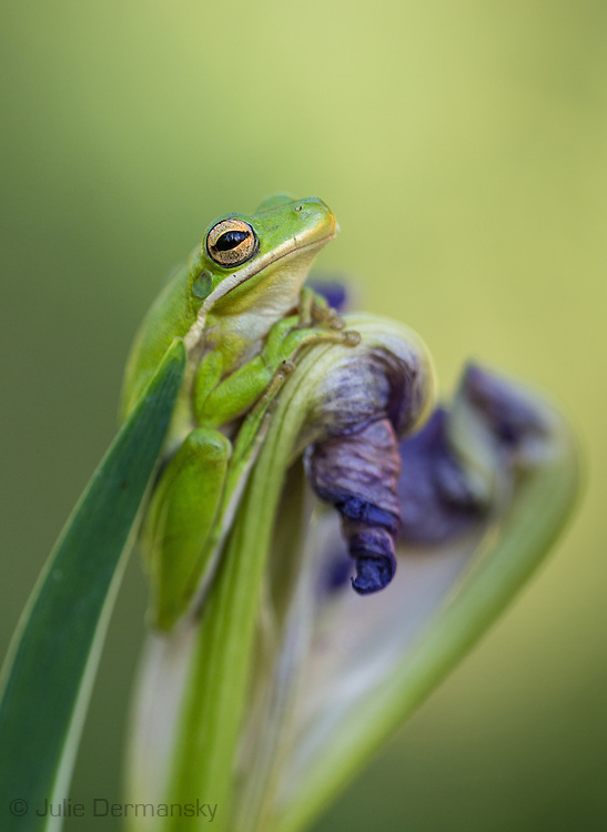 April 10, 2014, Norco. Louisiana, a tree frog on a wild iris in bloom in Bayou Platte as spring peaks in the swamp. Tree frogs are Louisiana's state amphibian.