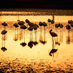Siluetas de graciosos flamingos nos arredores do Lobito. Província de Benguela. Angola. Fauna de Angola