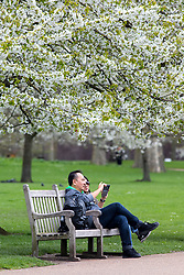 © Licensed to London News Pictures. 16/04/2018. London, UK. A couple take a photo in the sunshine, under a tree in full blossom, as the UK is set to experience warm weather of up to 25 degrees celsius this week. Photo credit : Tom Nicholson/LNP