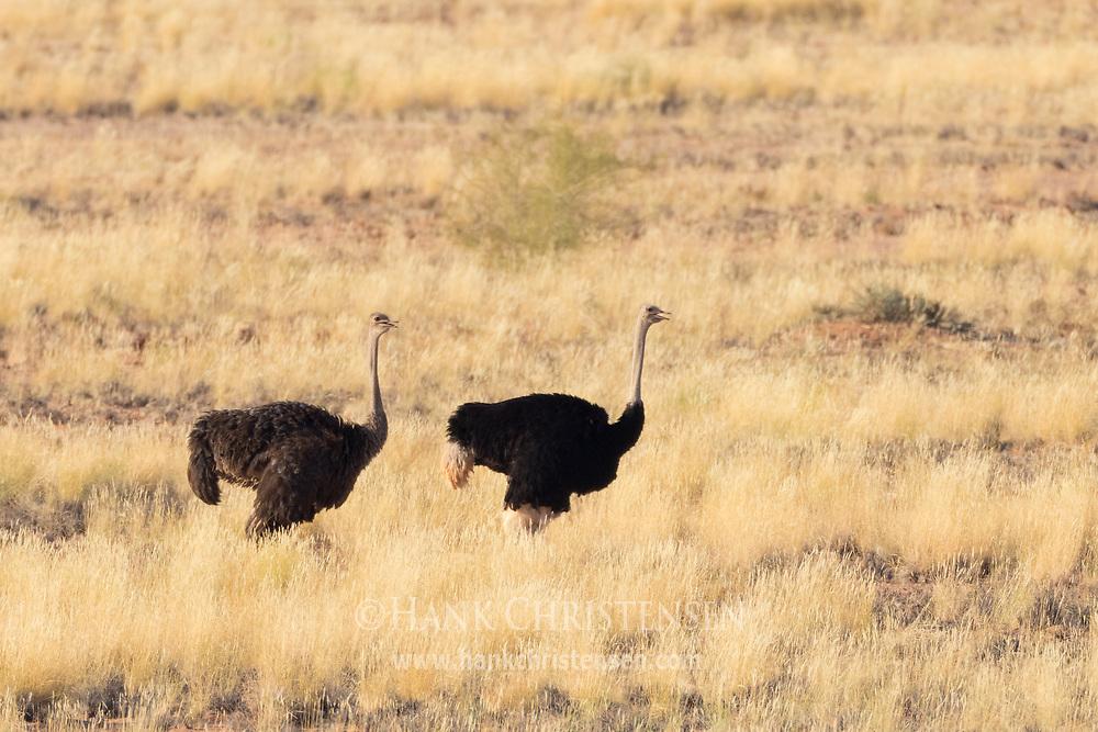 An ostrich pair walk through the dry grassland of Damaraland, Twyfelfontein, Namibia.